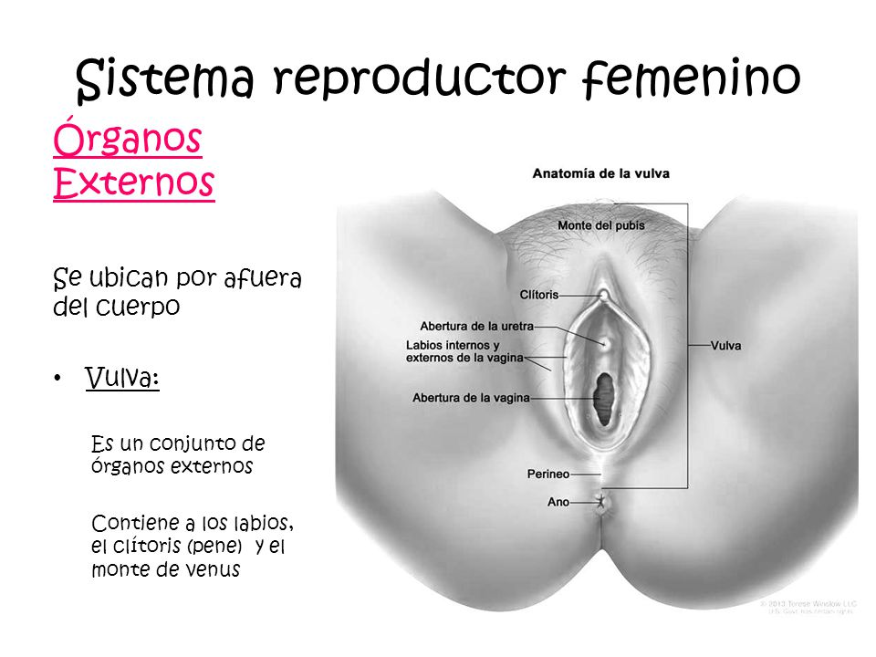 Sistemas Reproductores Humanos - ppt video online descargar