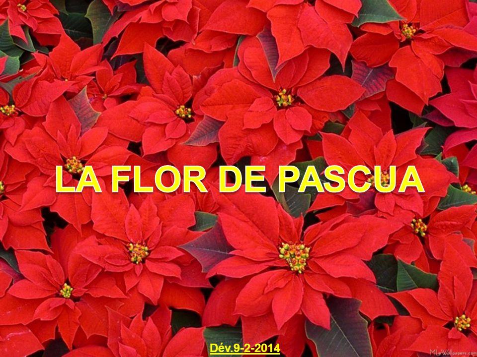 La flor de pascua d v ppt video online descargar - Que cuidados necesita la flor de pascua ...