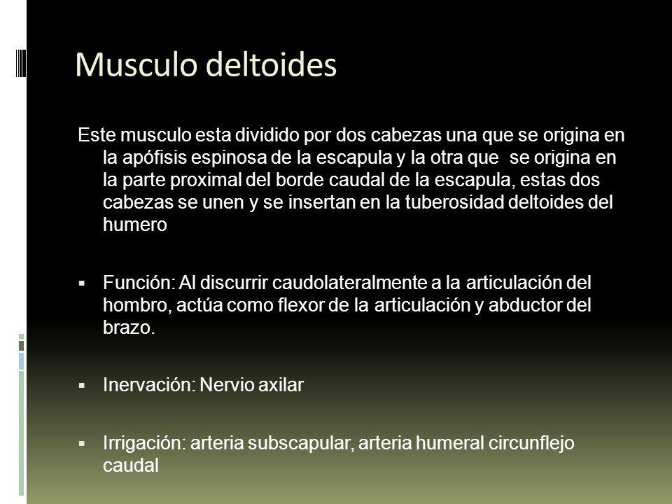 Músculos del miembro anterior - ppt video online descargar