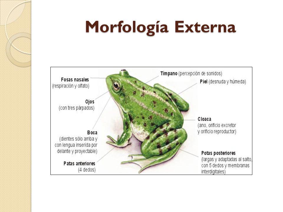 Excepcional Anatomía Rana Externa Viñeta - Anatomía de Las ...