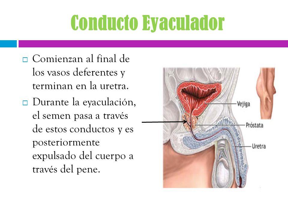 Lujoso Conductos Deferentes Anatomía Ornamento - Imágenes de ...