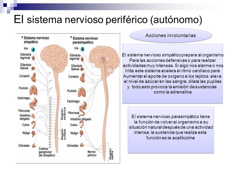 Famoso Partes Del Sistema Nervioso Periférico Y Su Función ...