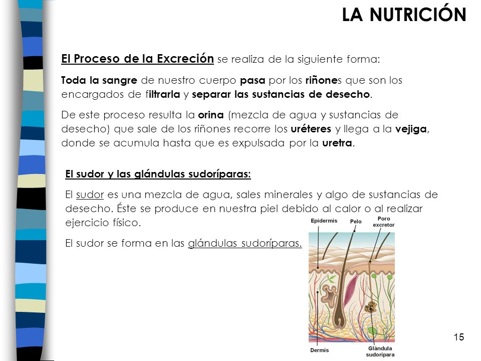 LA NUTRICIÓN El Proceso de la Excreción se realiza de la siguiente forma: