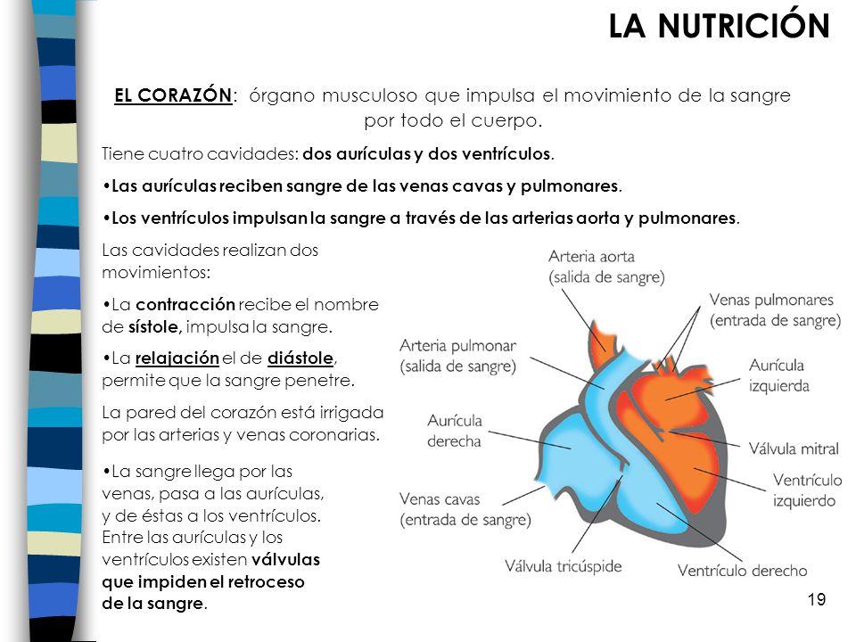 LA NUTRICIÓN EL CORAZÓN: órgano musculoso que impulsa el movimiento de la sangre por todo el cuerpo.