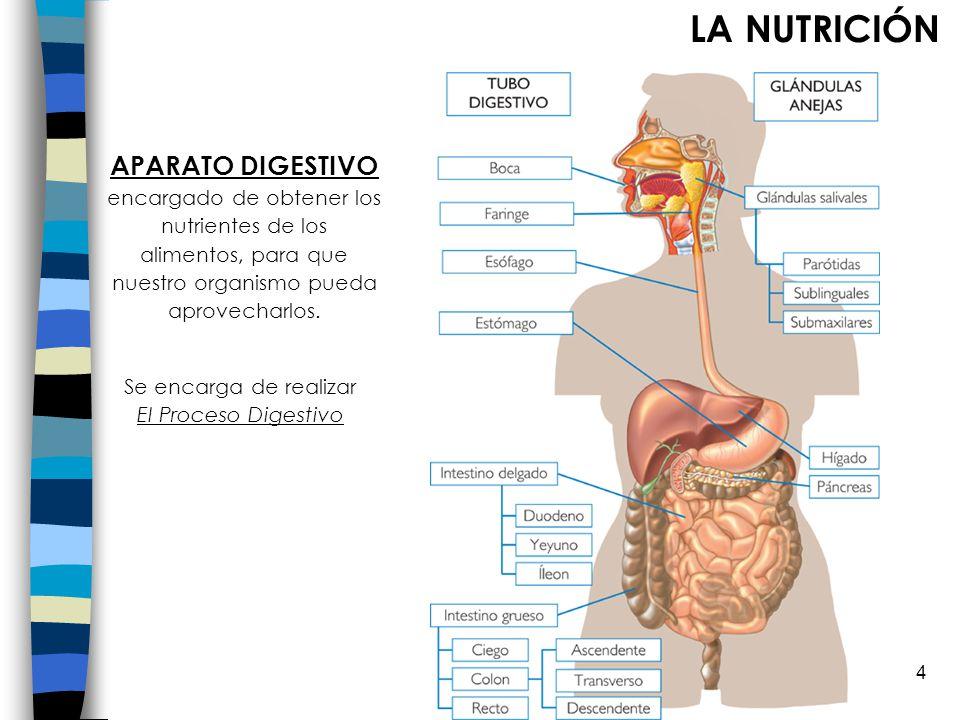 Se encarga de realizar El Proceso Digestivo