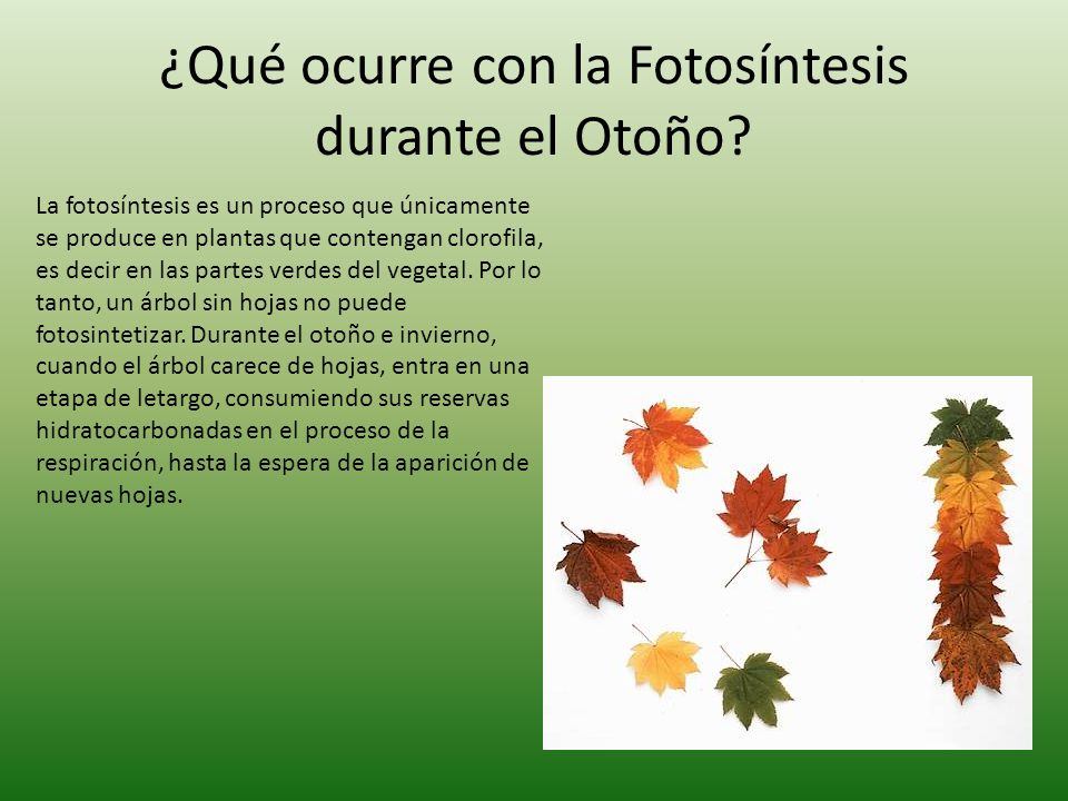 Fotos ntesis ppt video online descargar for Arboles que no pierden sus hojas en otono