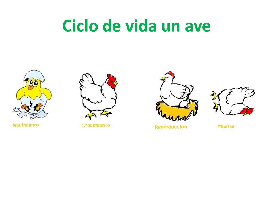 Ciclo de vida un ave