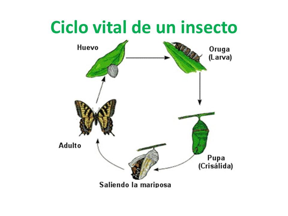 Ciclo vital de un insecto