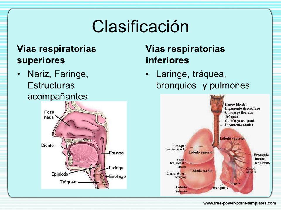 Encantador Anatomía Del Tracto Respiratorio Superior E Inferior ...