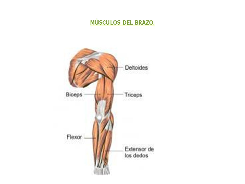 Excepcional Fotos De Los Músculos Del Brazo Colección - Anatomía de ...