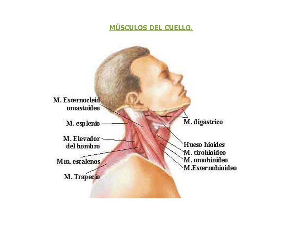 Atractivo Músculos Del Cuello Viñeta - Imágenes de Anatomía Humana ...