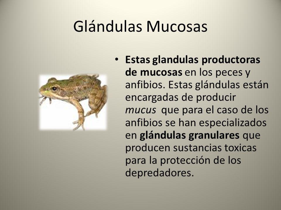 Glándulas Mucosas