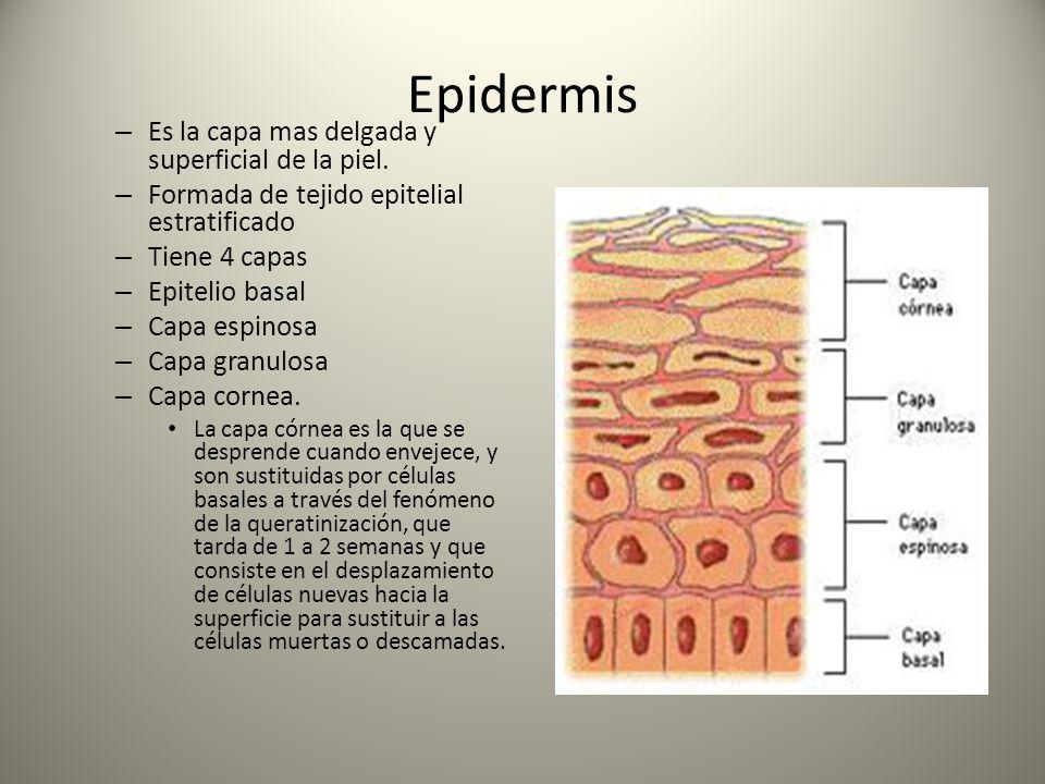 Epidermis Es la capa mas delgada y superficial de la piel.