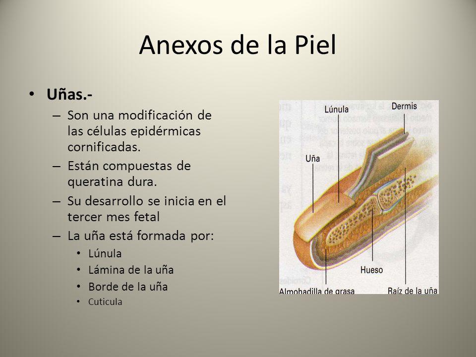 Anexos de la Piel Uñas.- Son una modificación de las células epidérmicas cornificadas. Están compuestas de queratina dura.