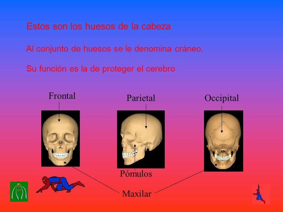 Estos son los huesos de la cabeza