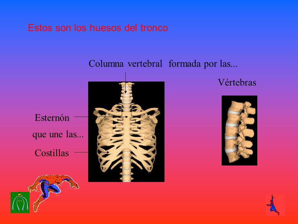 Estos son los huesos del tronco