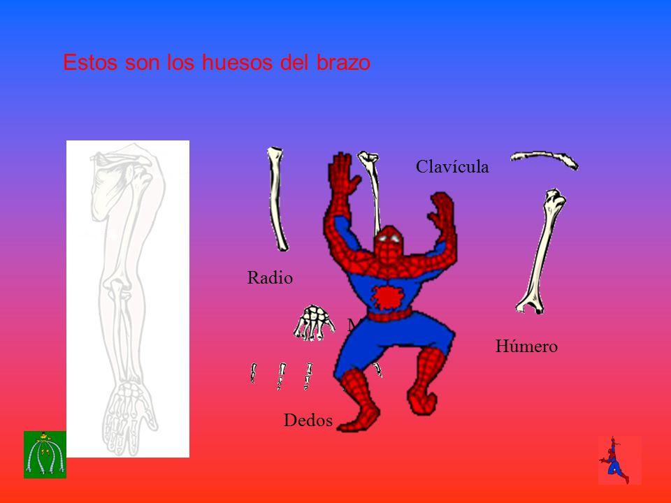 Estos son los huesos del brazo