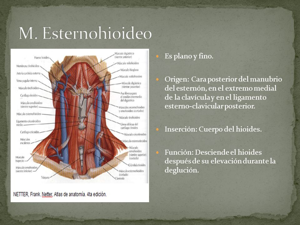 Cara y cuello ppt video online descargar for Esternohioideo y esternotiroideo