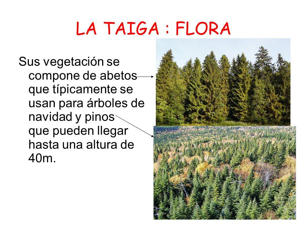 La taiga ppt descargar for Tipos de arboles y sus caracteristicas