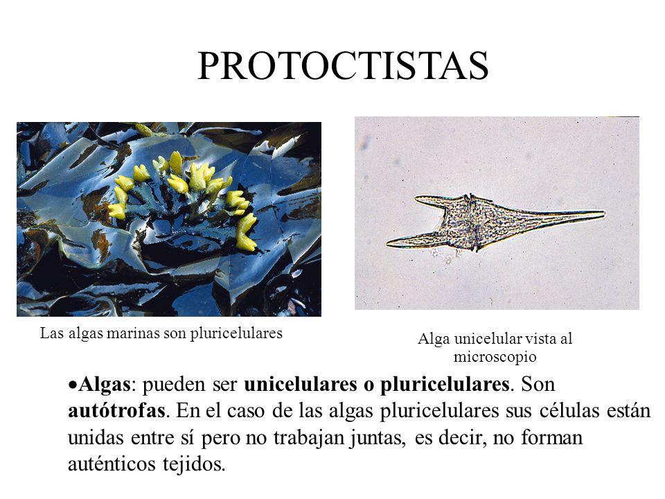 PROTOCTISTAS Alga unicelular vista al microscopio. Las algas marinas son pluricelulares.