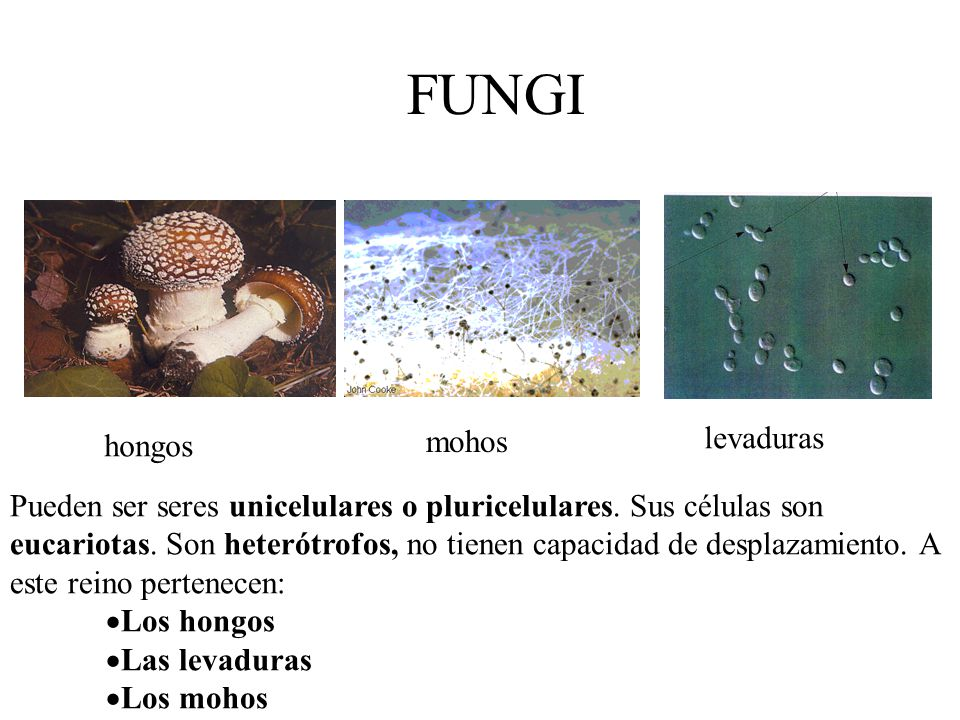 FUNGI levaduras mohos hongos