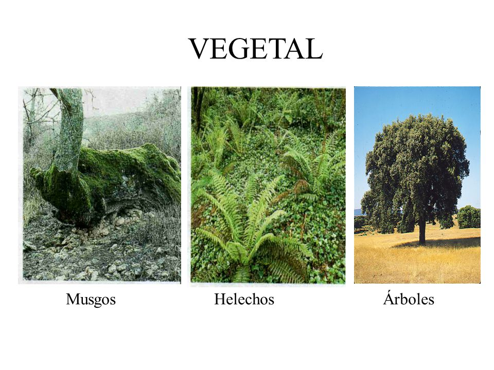 VEGETAL Musgos Helechos Árboles