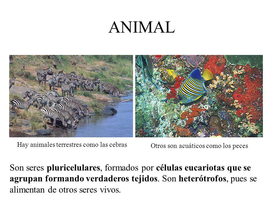 ANIMAL Hay animales terrestres como las cebras. Otros son acuáticos como los peces.
