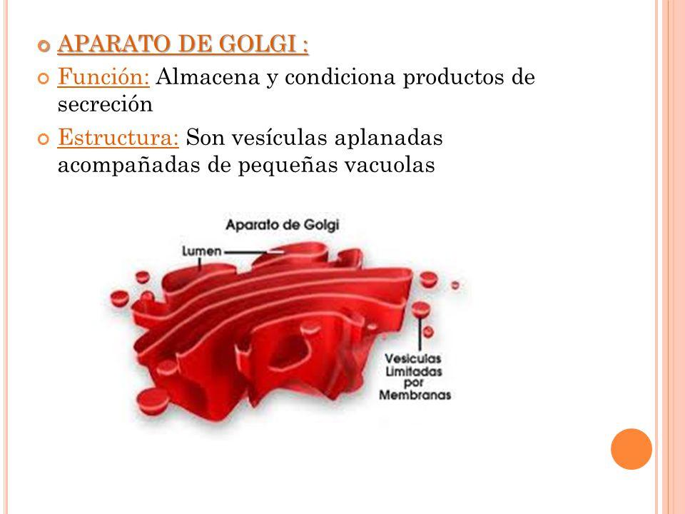 APARATO DE GOLGI : Función: Almacena y condiciona productos de secreción.