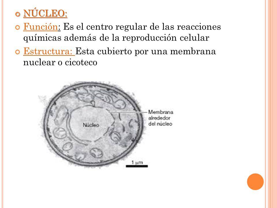NÚCLEO: Función: Es el centro regular de las reacciones químicas además de la reproducción celular.