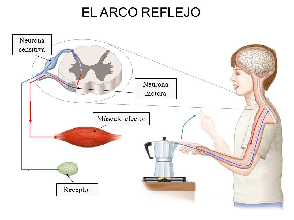 El sistema Nervioso  ppt descargar