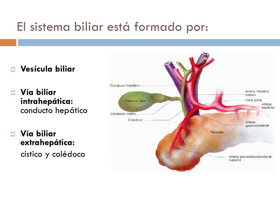 Fantástico Biliar Intrahepático Anatomía Conducto Motivo - Anatomía ...