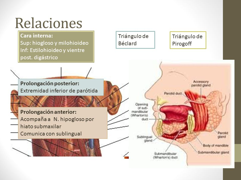Lujo Anatomía De La Glándula Submandibular Friso - Imágenes de ...