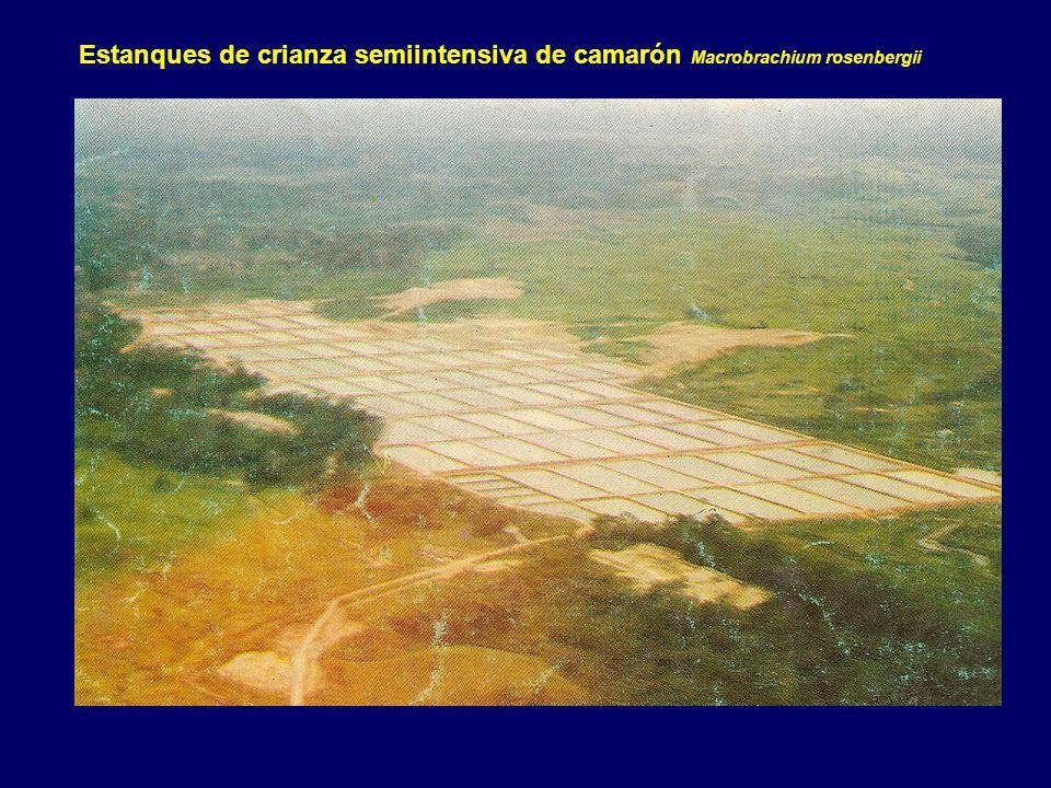 Universidad nacional del santa ppt descargar for Crianza de camarones