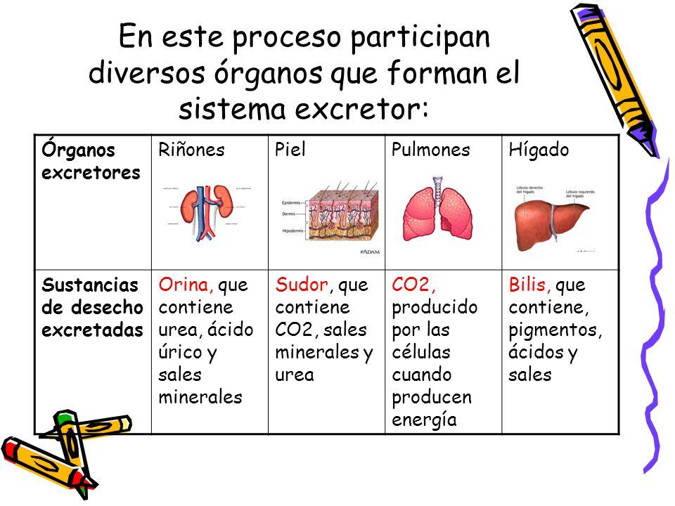 Sistemas corporales integrados parte 2 ppt video online for En k parte del cuerpo estan los rinones
