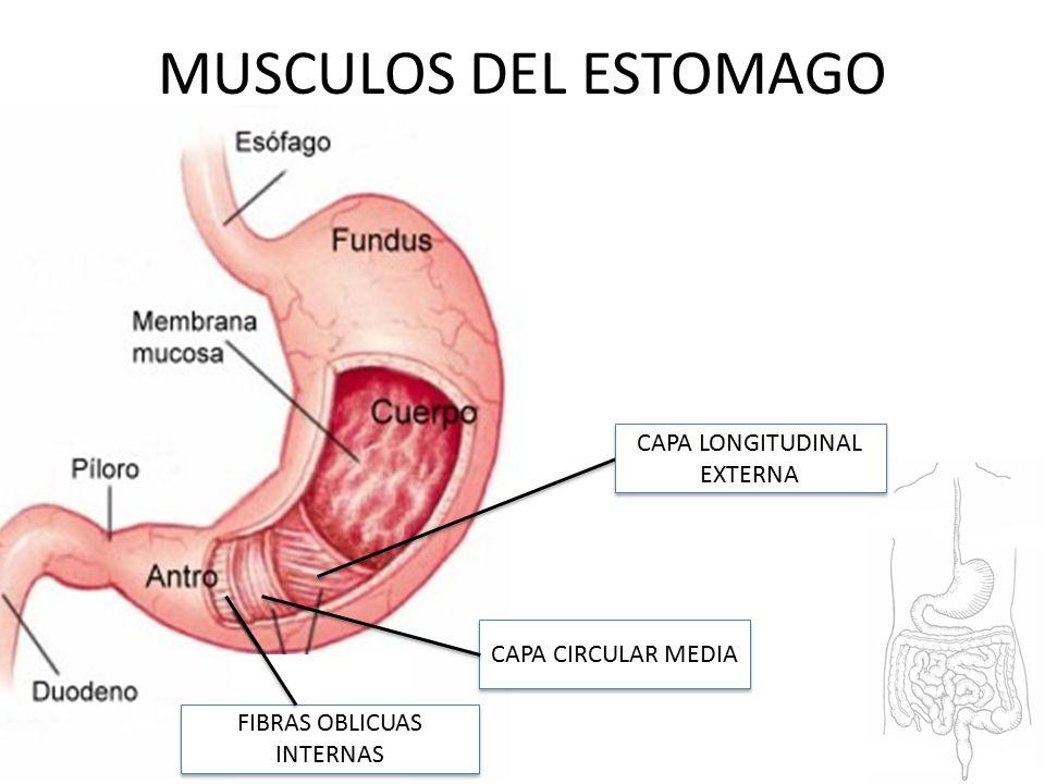 Excepcional Músculos Del Estomago Componente - Anatomía de Las ...