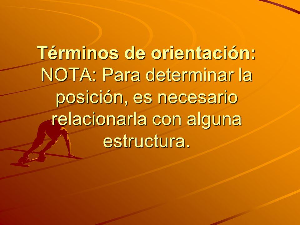 Términos de orientación: NOTA: Para determinar la posición, es necesario relacionarla con alguna estructura.