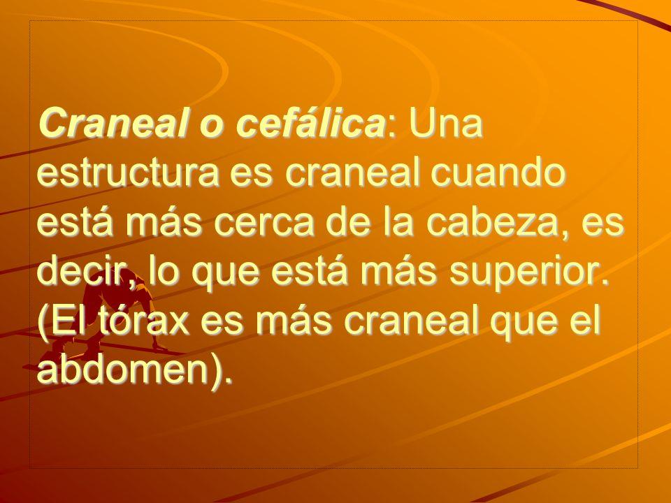 Craneal o cefálica: Una estructura es craneal cuando está más cerca de la cabeza, es decir, lo que está más superior.