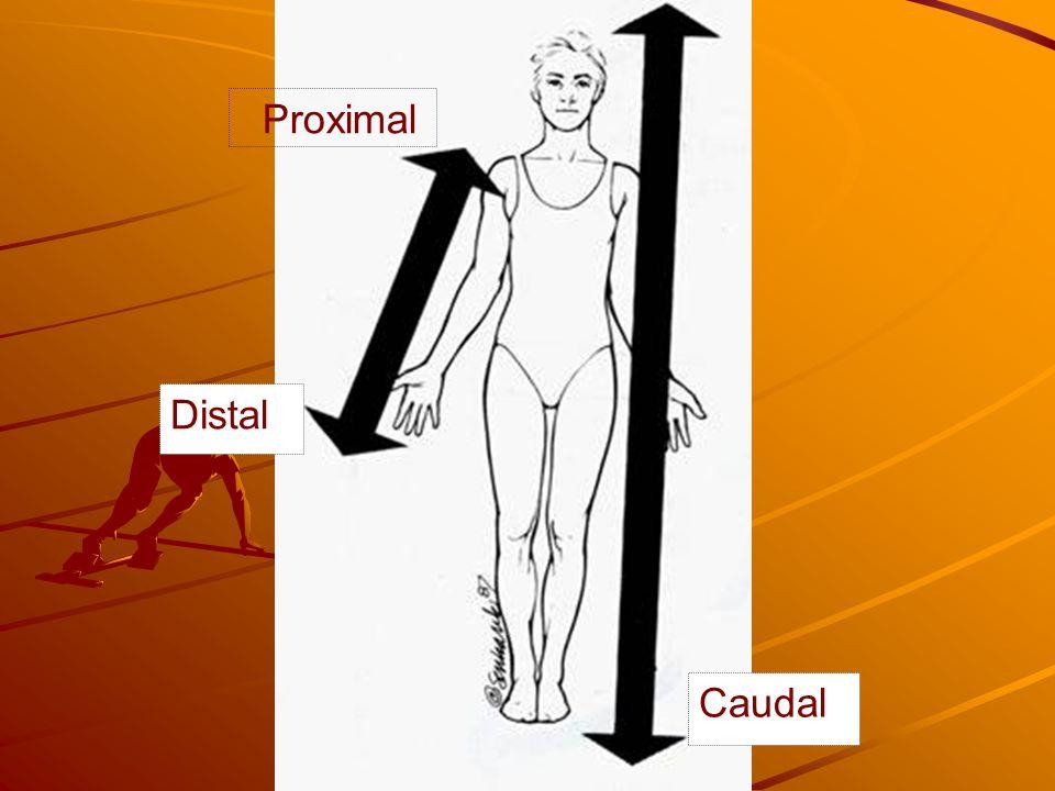 Proximal Distal Caudal