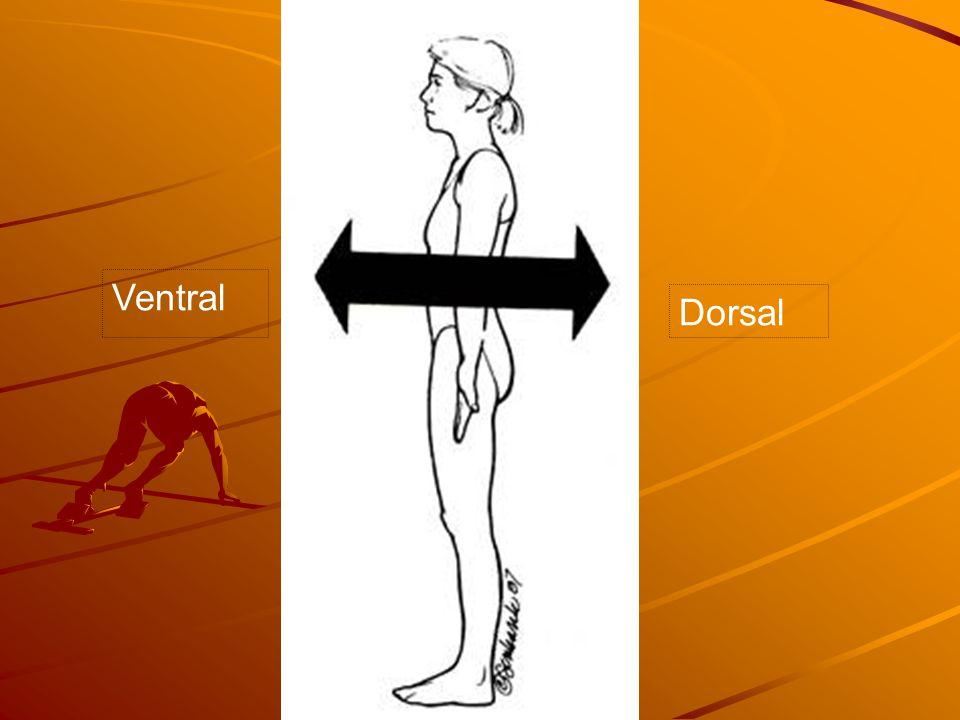 Ventral Dorsal