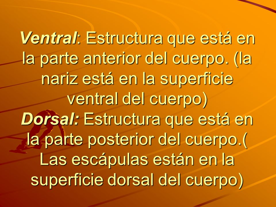 Ventral: Estructura que está en la parte anterior del cuerpo