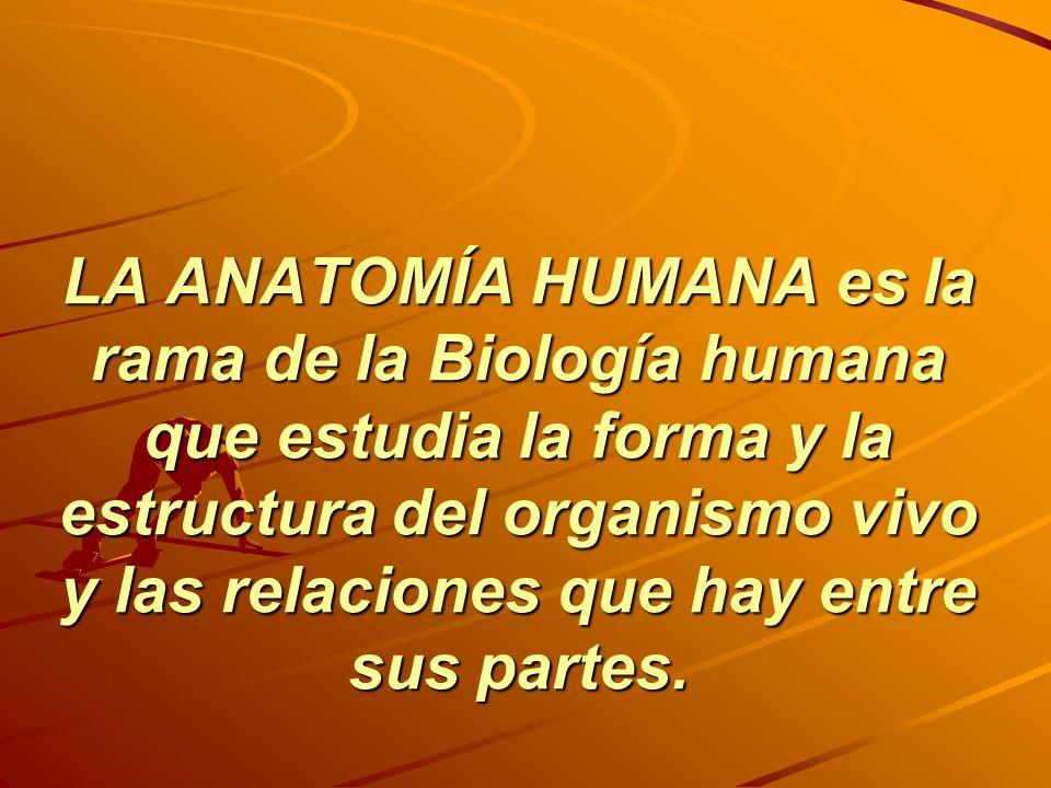 LA ANATOMÍA HUMANA es la rama de la Biología humana que estudia la forma y la estructura del organismo vivo y las relaciones que hay entre sus partes.