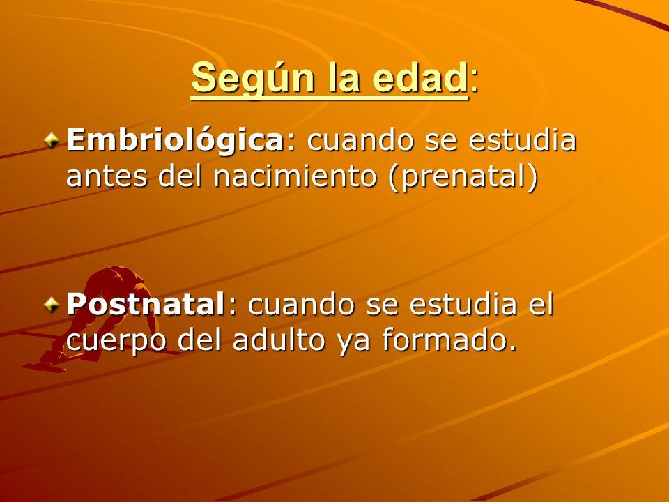 Según la edad: Embriológica: cuando se estudia antes del nacimiento (prenatal) Postnatal: cuando se estudia el cuerpo del adulto ya formado.