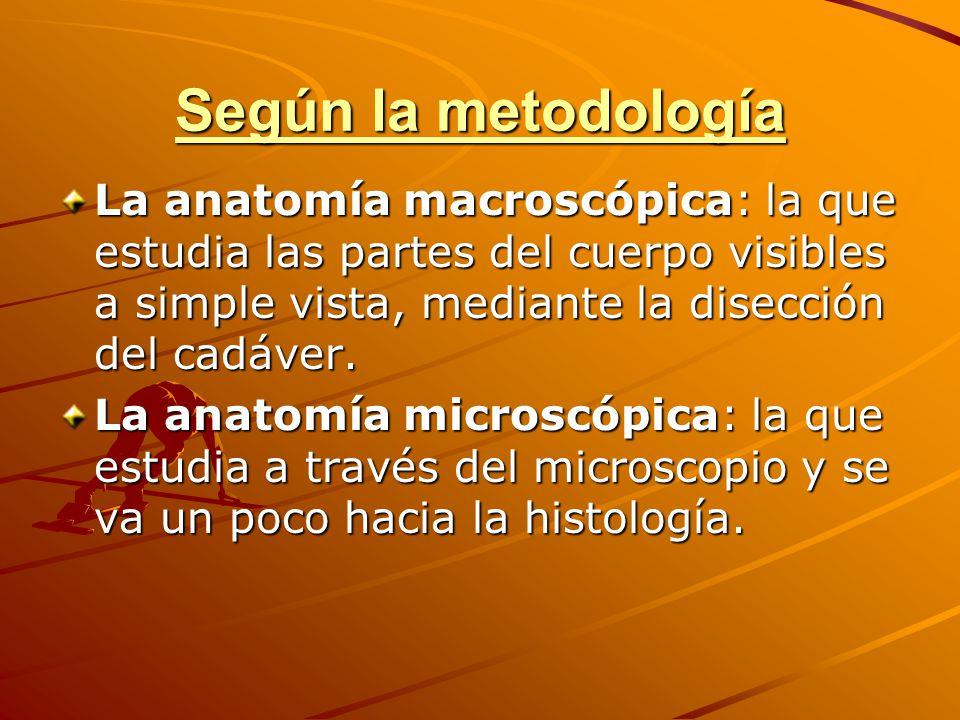 Según la metodología La anatomía macroscópica: la que estudia las partes del cuerpo visibles a simple vista, mediante la disección del cadáver.