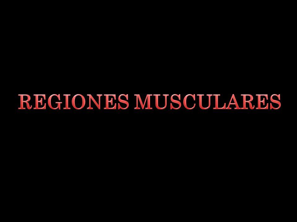 REGIONES MUSCULARES