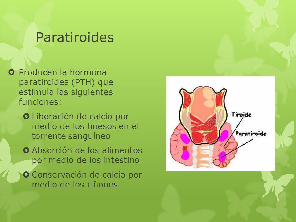 Paratiroides Producen la hormona paratiroidea (PTH) que estimula las siguientes funciones: