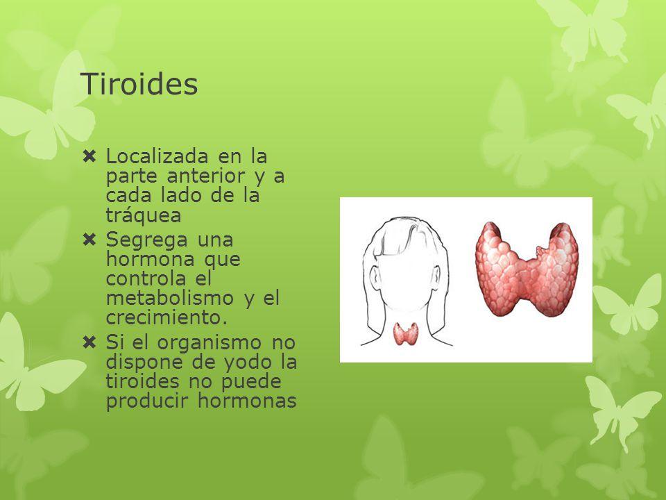 Tiroides Localizada en la parte anterior y a cada lado de la tráquea