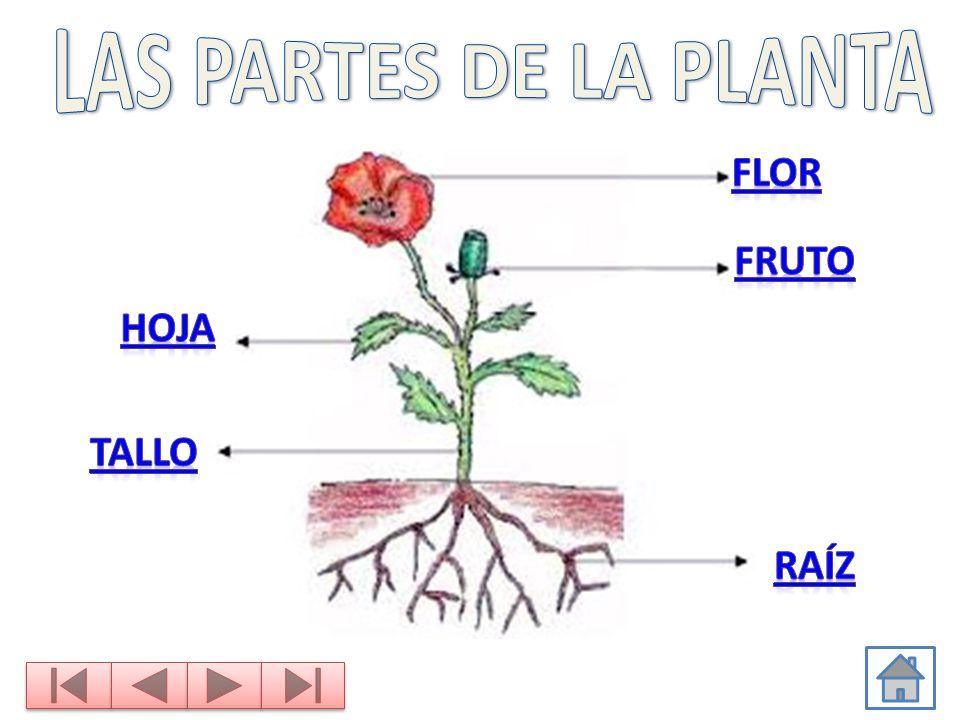 Las partes de la planta flor fruto hoja tallo ra z ppt for Las partes de un arbol en ingles