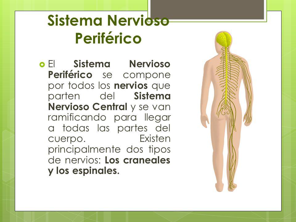 Lujoso El Sistema Nervioso Periférico Incluye Colección - Anatomía ...