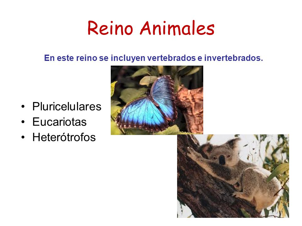 En este reino se incluyen vertebrados e invertebrados.