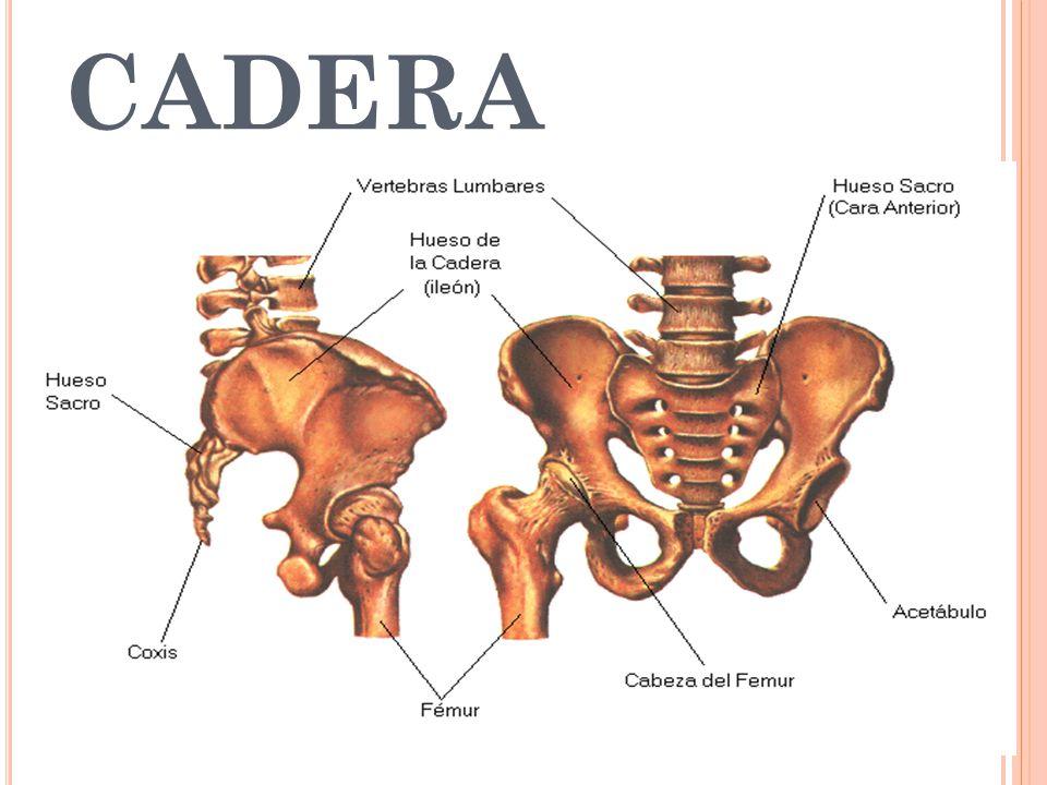 Vistoso Huesos De La Cadera Molde - Anatomía de Las Imágenesdel ...